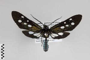 (Mydropastea - Arcec 30229)  @14 [ ] Copyright (2013) Gunnar Brehm Institut fuer Spezielle Zoologie und Evolutionsbiologie, Friedrich-Schiller Universität Jena