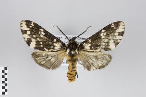 (Phaegoptera - Arcec 30280)  @15 [ ] Copyright (2013) Gunnar Brehm Institut fuer Spezielle Zoologie und Evolutionsbiologie, Friedrich-Schiller Universität Jena
