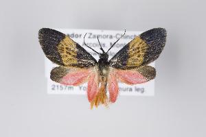(Illice sexalata - Arcec 30336)  @13 [ ] Copyright (2013) Gunnar Brehm Institut fuer Spezielle Zoologie und Evolutionsbiologie, Friedrich-Schiller Universität Jena
