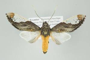 (Bertholdia flavidorsata - Arcec 30593)  @14 [ ] Copyright (2009) Gunnar Brehm Institut fuer Spezielle Zoologie und Evolutionsbiologie, Friedrich-Schiller Universitat Jena