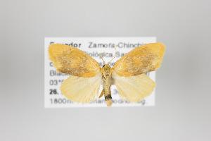 (Pronola - Arcec 31126)  @13 [ ] Copyright (2013) Gunnar Brehm Institut fuer Spezielle Zoologie und Evolutionsbiologie, Friedrich-Schiller Universität Jena