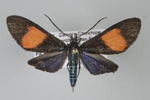 (Cyanopepla imperialis - Arcec 32109)  @15 [ ] Copyright (2010) Gunnar Brehm Institut fuer Spezielle Zoologie und Evolutionsbiologie, Friedrich-Schiller Universitat Jena