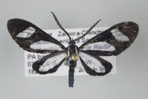 (Cyanopepla argyritida - Arcec 32110)  @15 [ ] Copyright (2010) Gunnar Brehm Institut fuer Spezielle Zoologie und Evolutionsbiologie, Friedrich-Schiller Universitat Jena
