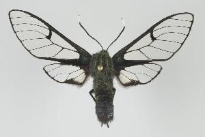 (Dasysphinx mucescens - Arcec 32128)  @11 [ ] Copyright (2010) Gunnar Brehm Institut fuer Spezielle Zoologie und Evolutionsbiologie, Friedrich-Schiller Universitat Jena