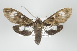 (Epidesma demonis - ArcCR 40042)  @14 [ ] Copyright (2010) Gunnar Brehm Institut fuer Spezielle Zoologie und Evolutionsbiologie, Friedrich-Schiller Universitat Jena