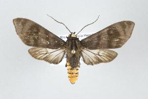 (Pachydota - ArcCR 40131)  @15 [ ] Copyright (2010) Gunnar Brehm Institut fuer Spezielle Zoologie und Evolutionsbiologie, Friedrich-Schiller Universitat Jena