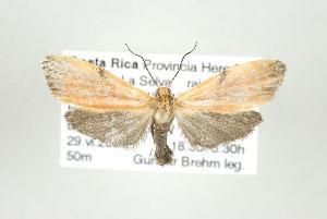 (Lycomorphodes sordida - ArcCR 40203)  @13 [ ] Copyright (2010) Gunnar Brehm Institut fuer Spezielle Zoologie und Evolutionsbiologie, Friedrich-Schiller Universitat Jena