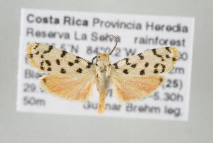 (Epeiromulona sp nr phelina - ArcCR 40231)  @14 [ ] Copyright (2010) Gunnar Brehm Institut fuer Spezielle Zoologie und Evolutionsbiologie, Friedrich-Schiller Universitat Jena