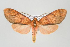 (Hypercompe conspersa - ArcCR 40432)  @15 [ ] Copyright (2010) Gunnar Brehm Institut fuer Spezielle Zoologie und Evolutionsbiologie, Friedrich-Schiller Universitat Jena