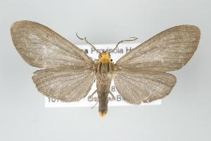 (Agaraea sp nr inconspicua - ArcCR 40519)  @15 [ ] Copyright (2010) Gunnar Brehm Institut fuer Spezielle Zoologie und Evolutionsbiologie, Friedrich-Schiller Universitat Jena
