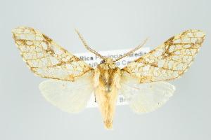 (Lophocampa sp nr propinqua - ArcCR 40551)  @11 [ ] Copyright (2010) Gunnar Brehm Institut fuer Spezielle Zoologie und Evolutionsbiologie, Friedrich-Schiller Universitat Jena