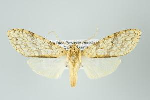 (Lophocampa sp nr pectina - ArcCR 40570)  @11 [ ] Copyright (2010) Gunnar Brehm Institut fuer Spezielle Zoologie und Evolutionsbiologie, Friedrich-Schiller Universitat Jena