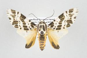 (Hypercompe sp nr leucarctioides - ArcCR 40602)  @14 [ ] Copyright (2010) Gunnar Brehm Institut fuer Spezielle Zoologie und Evolutionsbiologie, Friedrich-Schiller Universitat Jena