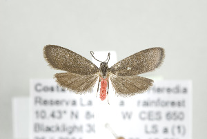 (Talara rugipennis - ArcCR 42377)  @14 [ ] Copyright (2010) Gunnar Brehm Institut fuer Spezielle Zoologie und Evolutionsbiologie, Friedrich-Schiller Universitat Jena
