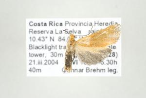 (Lycomorphodes sp nr sordida - ArcCR 42412)  @12 [ ] Copyright (2010) Gunnar Brehm Institut fuer Spezielle Zoologie und Evolutionsbiologie, Friedrich-Schiller Universitat Jena