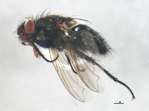 (Pollenia vagabunda - BIOUG01651-C06)  @14 [ ] CreativeCommons - Attribution Non-Commercial Share-Alike (2012) CBG Photography Group Centre for Biodiversity Genomics