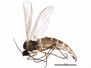 (Corynoptera vagula - BIOUG01570-C08)  @14 [ ] CC-0 (2012) CBG Photography Group Centre for Biodiversity Genomics