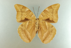 (Archaeoprepona demophon centralis - AIV 008)  @14 [ ] Unspecified (default): All Rights Reserved  Unspecified Unspecified