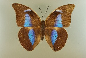 (Archaeoprepona demophon occidentalis - AIV 013)  @14 [ ] Unspecified (default): All Rights Reserved  Unspecified Unspecified