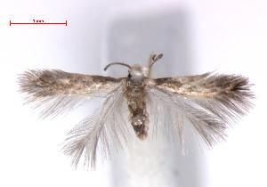 (Stigmella basiguttella - RMNH.INS.23994)  @14 [ ] CreativeCommons - Attribution Non-Commercial Share-Alike (2011) Erik J. van Nieukerken NCB Naturalis
