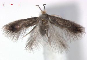 (Stigmella viscerella - RMNH.INS.23997)  @13 [ ] CreativeCommons - Attribution Non-Commercial Share-Alike (2011) Erik J. van Nieukerken NCB Naturalis