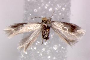 (Ectoedemia nr. canutus - RMNH.INS.23723)  @14 [ ] Copyright (2010) E. J. van Nieukerken 2010 Unspecified