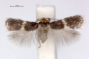 (Ectoedemia hendrikseni - RMNH.INS.23828)  @14 [ ] Copyright (2010) E. J. van Nieukerken 2010 Unspecified