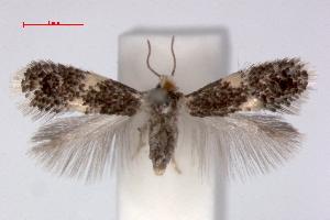 (Ectoedemia contorta - RMNH.INS.23835)  @14 [ ] Copyright (2010) E. J. van Nieukerken 2010 Unspecified