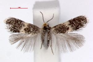 (Ectoedemia cerris - RMNH.INS.23836)  @14 [ ] Copyright (2010) E. J. van Nieukerken 2010 Unspecified