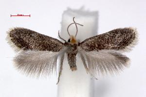 (Ectoedemia klimeschi - RMNH.INS.23837)  @11 [ ] Copyright (2010) E. J. van Nieukerken 2010 Unspecified