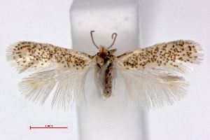 (Ectoedemia gilvipennella - RMNH.INS.23840)  @15 [ ] Copyright (2010) E. J. van Nieukerken 2010 Unspecified