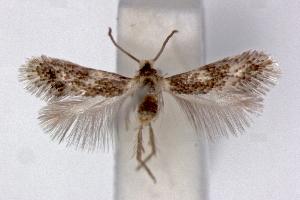 (Ectoedemia algeriensis - RMNH.INS.23842)  @15 [ ] Copyright (2010) E. J. van Nieukerken 2010 Unspecified
