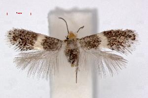 (Ectoedemia phaeolepis - RMNH.INS.23844)  @14 [ ] Copyright (2010) E. J. van Nieukerken 2010 Unspecified