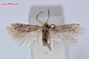 (Ectoedemia alnifoliae - RMNH.INS.23883)  @14 [ ] Copyright (2010) E. J. van Nieukerken 2010 Unspecified