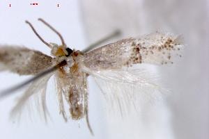 (Ectoedemia arisi - RMNH.INS.23887)  @14 [ ] Copyright (2010) E. J. van Nieukerken 2010 Unspecified