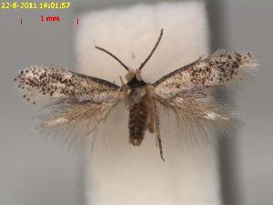 (Ectoedemia NyssaUSA - RMNH.INS.24213)  @13 [ ] CreativeCommons - Attribution Non-Commercial Share-Alike (2013) Erik J. van Nieukerken Naturalis, Biodiversity Center