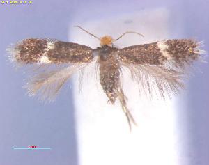 (Stigmella salicisSpain - RMNH.INS.24289)  @13 [ ] CreativeCommons - Attribution Non-Commercial Share-Alike (2013) Erik J. van Nieukerken Naturalis, Biodiversity Center