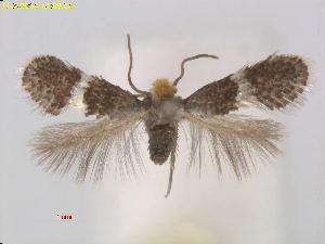 (Ectoedemia PlatanusracemosaCA - RMNH.INS.24572)  @13 [ ] CreativeCommons - Attribution Non-Commercial Share-Alike (2016) Erik J. van Nieukerken-Nauturalis Unspecified