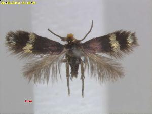(Enteucha PersicariaJapan - RMNH.INS.24646)  @14 [ ] CreativeCommons - Attribution Non-Commercial Share-Alike (2016) Erik J. van Nieukerken-Nauturalis Unspecified