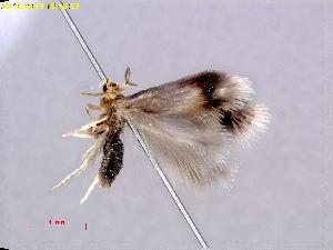 (Stigmella PopulusCO - RMNH.INS.24785)  @13 [ ] CreativeCommons - Attribution Non-Commercial Share-Alike  E.J. van Nieukerken Naturalis Biodiversity Center