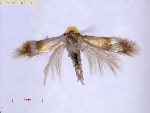 (Stigmella taeniola - RMNH.INS.24787)  @14 [ ] CreativeCommons - Attribution Non-Commercial Share-Alike  E.J. van Nieukerken Naturalis Biodiversity Center