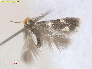 (Etainia GeorgiaEvN4807 - RMNH.INS.24807)  @13 [ ] CreativeCommons - Attribution Non-Commercial Share-Alike  E.J. van Nieukerken Naturalis Biodiversity Center