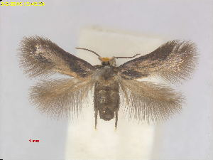 (Stigmella myrsinivora - RMNH.INS.24816)  @11 [ ] CreativeCommons - Attribution Non-Commercial Share-Alike  E.J. van Nieukerken Naturalis Biodiversity Center