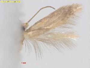 (Glaucolepis hamirella - RMNH.INS.24821)  @13 [ ] CreativeCommons - Attribution Non-Commercial Share-Alike  E.J. van Nieukerken Naturalis Biodiversity Center