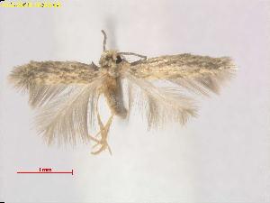 (Stigmella zizyphi - RMNH.INS.24828)  @11 [ ] CreativeCommons - Attribution Non-Commercial Share-Alike  E.J. van Nieukerken Naturalis Biodiversity Center