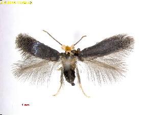 (Stigmella GlochidionJapan - RMNH.INS.24846)  @11 [ ] CreativeCommons - Attribution Non-Commercial Share-Alike  E.J. van Nieukerken Naturalis Biodiversity Center