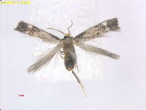 (Stigmella RhamnusCA - RMNH.INS.24854)  @12 [ ] CreativeCommons - Attribution Non-Commercial Share-Alike  E.J. van Nieukerken Naturalis Biodiversity Center