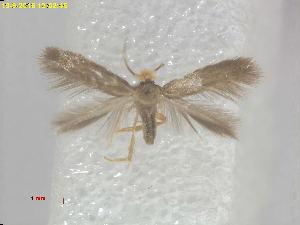 (Stigmella xystodes - RMNH.INS.24874)  @13 [ ] CreativeCommons - Attribution Non-Commercial Share-Alike  E.J. van Nieukerken Naturalis Biodiversity Center