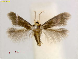 (Stigmella quercusvirginianaUSA - RMNH.INS.25048)  @11 [ ] CreativeCommons – Attribution Non-Commercial Share-Alike (2018) Erik J. van Nieukerken-Nauturalis Naturalis Biodiversity Center