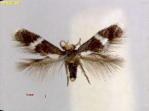 (Stigmella ReynosiaFL - RMNH.INS.25049)  @11 [ ] CreativeCommons – Attribution Non-Commercial Share-Alike (2018) Erik J. van Nieukerken-Nauturalis Naturalis Biodiversity Center